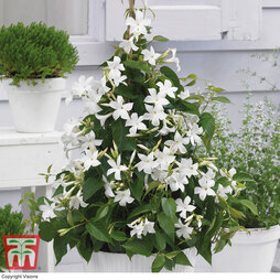 Mandevilla sanderi 'Bloom Bells® White'