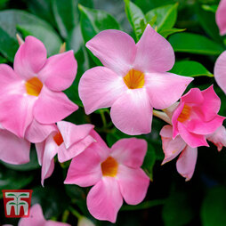 Mandevilla sanderi 'Bloom Bells® Pink'