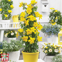 Mandevilla sanderi 'Bloom Bells® Yellow'