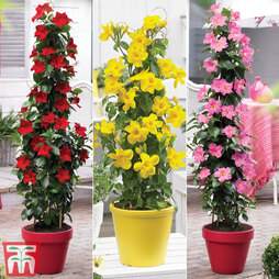 Mandevilla ?Bloom Bells?® Trio
