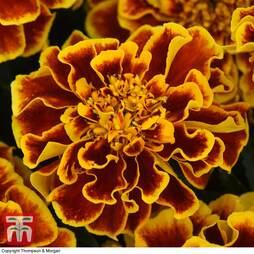 Marigold 'Colossus'