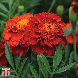 Marigold 'Scarlet Sophie'