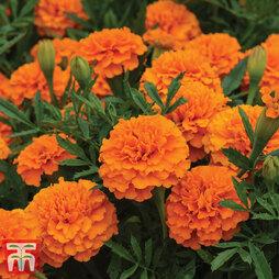 Marigold 'Boy O' Boy Orange'