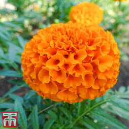 Marigold 'Discovery Orange' F1 Hybrid