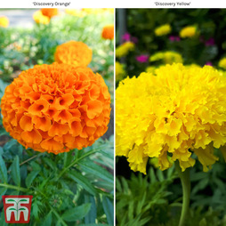Marigold 'Discovery Collection'