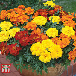 Marigold 'French Durango Improved'