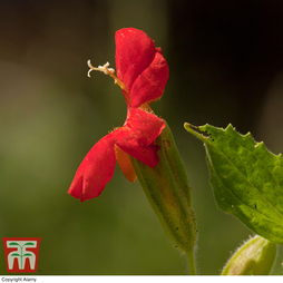 Mimulus 'Cardinalis'