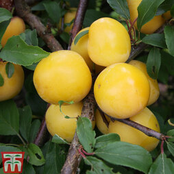 Plum 'Mirabelle Golden Sphere'