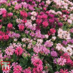 Monarda Censation™ 'Confetti'