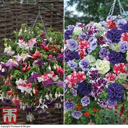 Summer Hanging Basket Plants Collection
