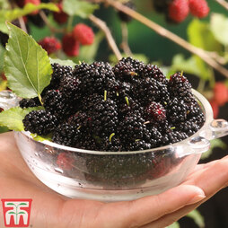 Mulberry 'Charlotte Russe' (Mojo Berry)