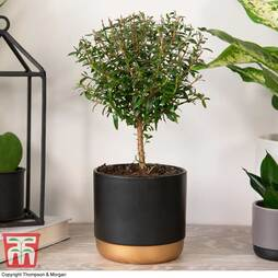 Myrtus communis on Stem (House plant)