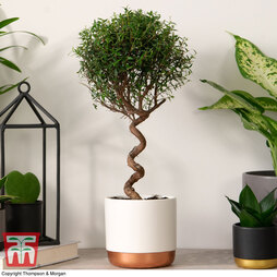 Myrtus communis on Spiral Stem (House plant)