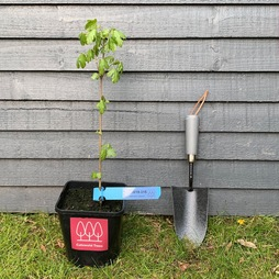 Field Maple tree (Acer campestre) grown by Cotswold Trees
