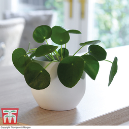 Chinese Money Plant - Gift