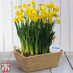 Narcissus Flower Basket (Rectangular) - Gift