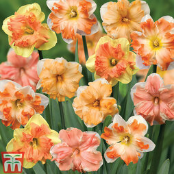 Narcissus 'Rainbow Butterflies' Mixed