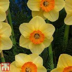 Narcissus 'Birma'