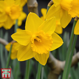 Narcissus 'Golden King Alfred'