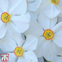 Narcissus 'Sagana'