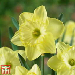 Narcissus 'St Patrick's Day'