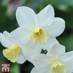 Narcissus 'Topolino Mini'