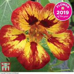Nasturtium 'Orchid Flame' Seeds