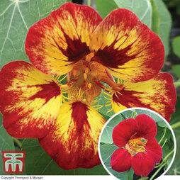 Nasturtium 'Orchid Flame'