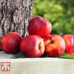 Fruit Me® 'Necta Me' (Mini Patio Tree)