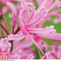 Nerine bowdenii 'Pink'
