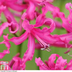 Nerine bowdenii 'Isabel'