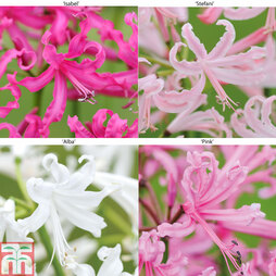 Nerine bowdenii Collection