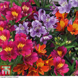 Nurserymans Choice Alstroemeria 'Everest'