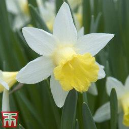 Daffodil 'Topolino'