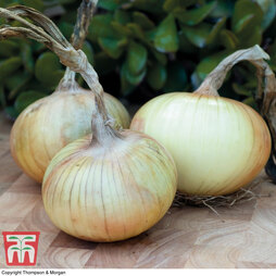 Onion 'Senshyu' (Autumn Planting)
