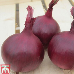 Onion 'Red Herald' F1 hybrid