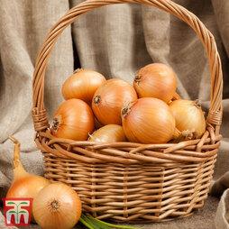 Onion (Autumn) 'Centurion'