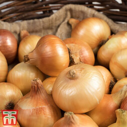 Onion (Autumn) Troy