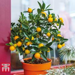 Fruiting Citrus 'Calamondin' - Gift