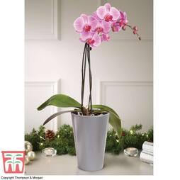 Phalaenopsis Vienna in Silver Ceramic Pot - Gift