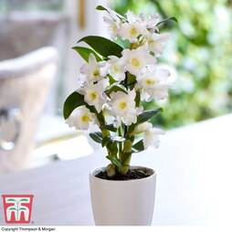 Orchid 'Apollon' in Ceramic Pot (House plant)
