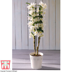 Orchid 'Star Class White' - Gift