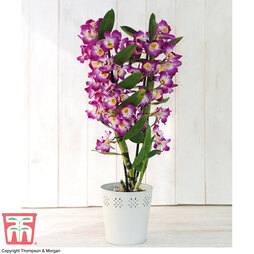 Orchid 'Star Class Lilac'