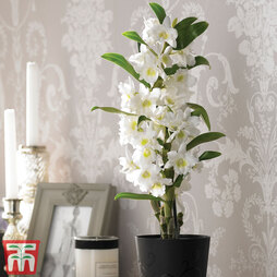 Orchid 'Star Class White' (House Plant)