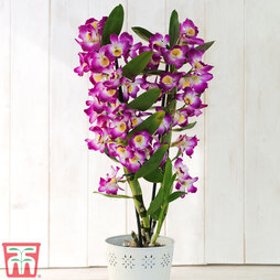 Orchid 'Star Class Lilac' (House Plant)