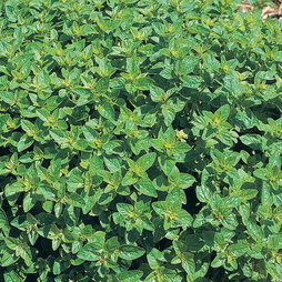 Oregano - Duchy Originals Organic Seeds