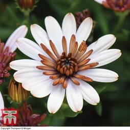 Osteospermum 'Erato Double Copper'