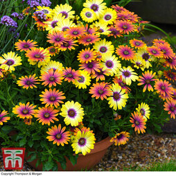 Osteospermum 'Eyes Duo'