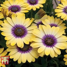 Osteospermum 'Blue Eyed Beauty'