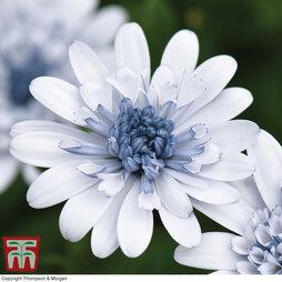 Osteospermum 'Erato Double Ice Blue'